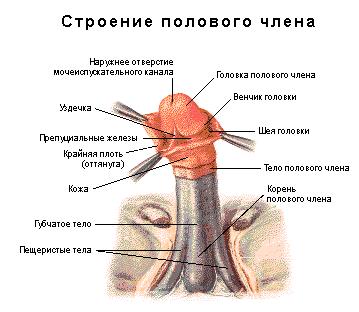 Способ увеличения пениса в домашних условиях